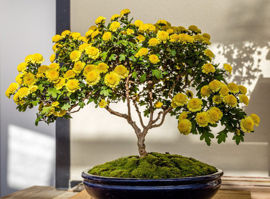 15 chậu bonsai mini siêu đẹp trang trí nhà dịp Tết  - Ảnh 14.