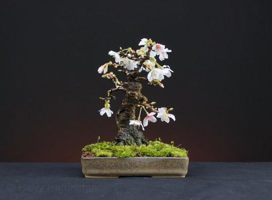 15 chậu bonsai mini siêu đẹp trang trí nhà dịp Tết  - Ảnh 8.