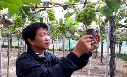 Độc đáo nho kiểng Ninh Thuận bội thu dịp Tết - Ảnh 2.