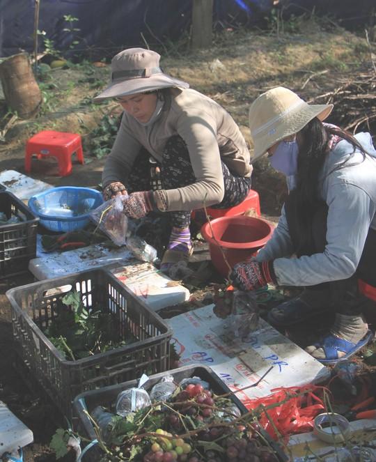 Độc đáo nho kiểng Ninh Thuận bội thu dịp Tết - Ảnh 4.