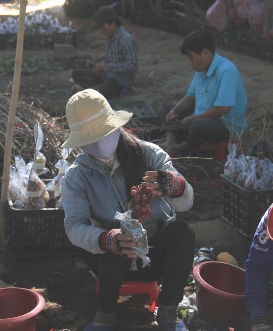 Độc đáo nho kiểng Ninh Thuận bội thu dịp Tết - Ảnh 5.