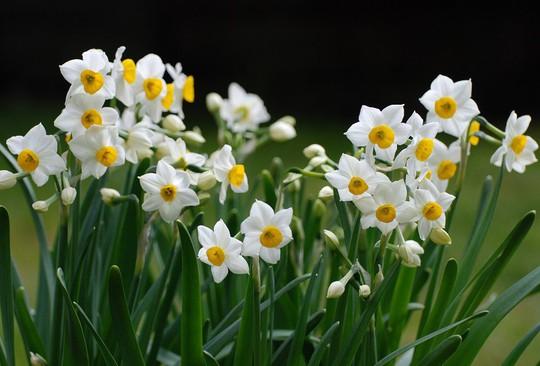 Những loại hoa chơi Tết siêu đẹp, siêu độc tính cần cảnh giác - Ảnh 2.