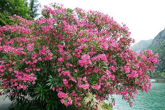 Những loại hoa chơi Tết siêu đẹp, siêu độc tính cần cảnh giác - Ảnh 6.