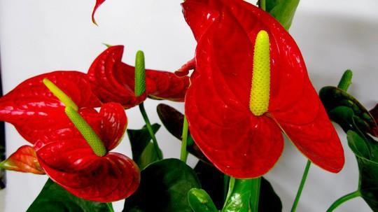 Những loại hoa chơi Tết siêu đẹp, siêu độc tính cần cảnh giác - Ảnh 8.