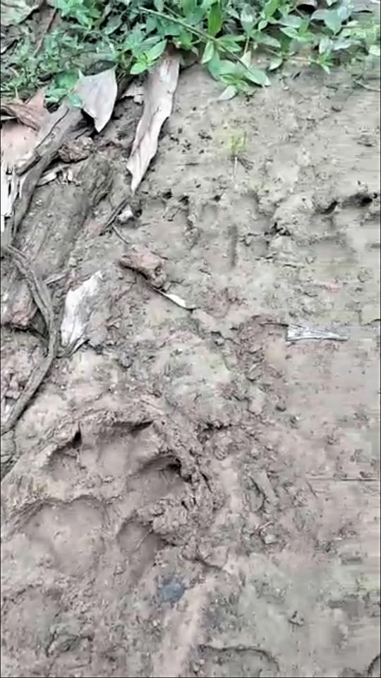Quảng Trị: Hàng chục con dê mất tích, nghi báo hoa mai ăn thịt - Ảnh 2.