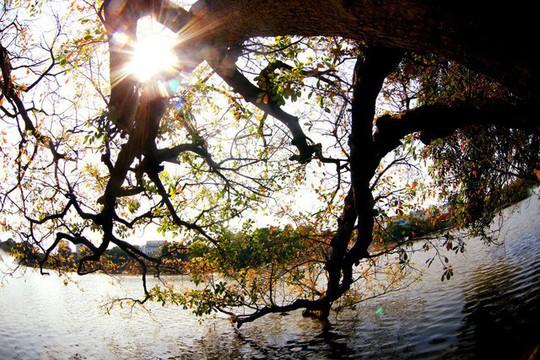 Hồ Gươm lãng mạn mùa lộc vừng thay màu lá - Ảnh 6.