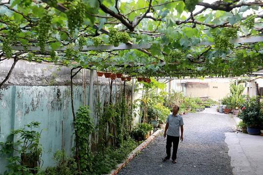 Vườn nho bê tông trĩu quả giữa Sài Gòn - Ảnh 1.
