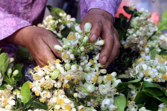 Truy tìm nguồn gốc hoa bưởi bán đầy phố Hà thành - Ảnh 6.