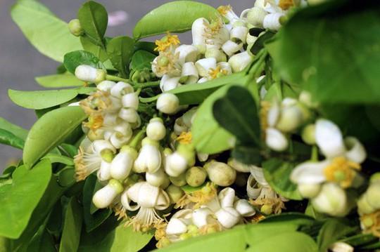 Truy tìm nguồn gốc hoa bưởi bán đầy phố Hà thành - Ảnh 7.