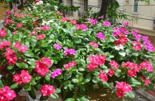 8 loài hoa đẹp bình dị, dễ trồng cho sân vườn nhà phố - Ảnh 2.