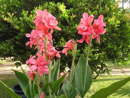 8 loài hoa đẹp bình dị, dễ trồng cho sân vườn nhà phố - Ảnh 9.