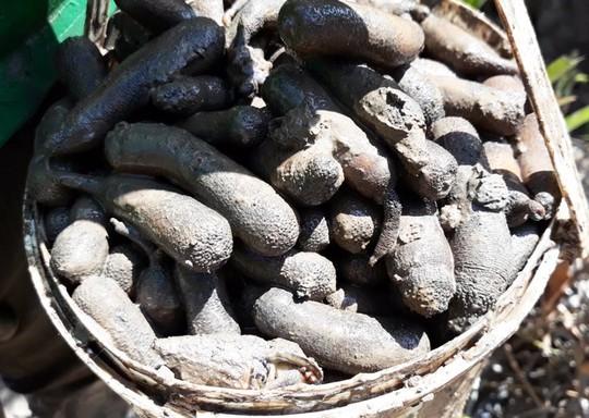 Săn con sâm đất - thần dược viagra hiếm có ở Việt Nam - Ảnh 1.