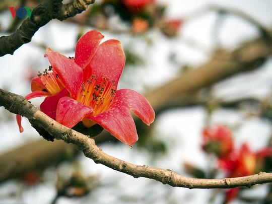 Đẹp nao lòng mùa hoa gạo tháng Ba - Ảnh 13.