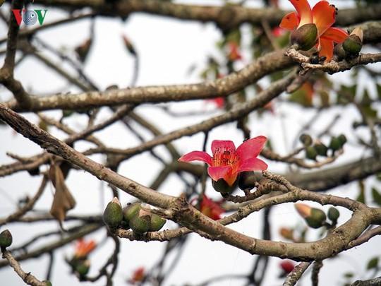 Đẹp nao lòng mùa hoa gạo tháng Ba - Ảnh 15.