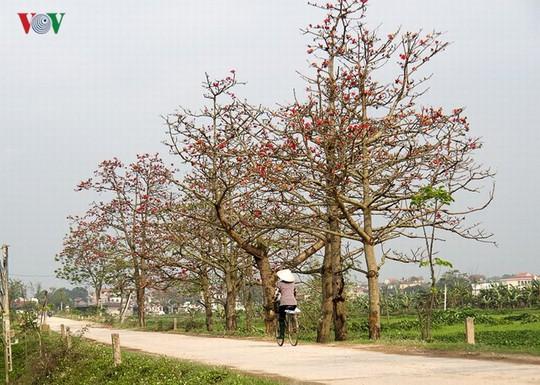 Đẹp nao lòng mùa hoa gạo tháng Ba - Ảnh 16.