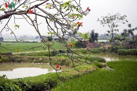 Đẹp nao lòng mùa hoa gạo tháng Ba - Ảnh 4.