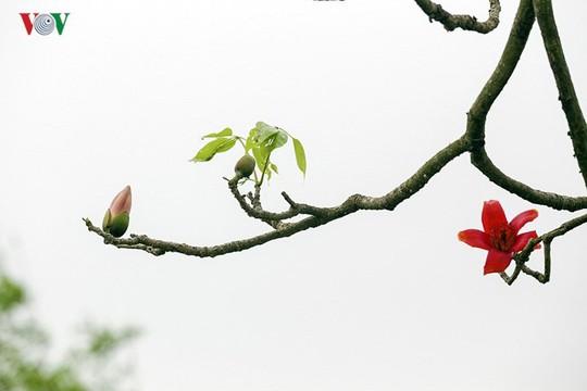 Đẹp nao lòng mùa hoa gạo tháng Ba - Ảnh 7.