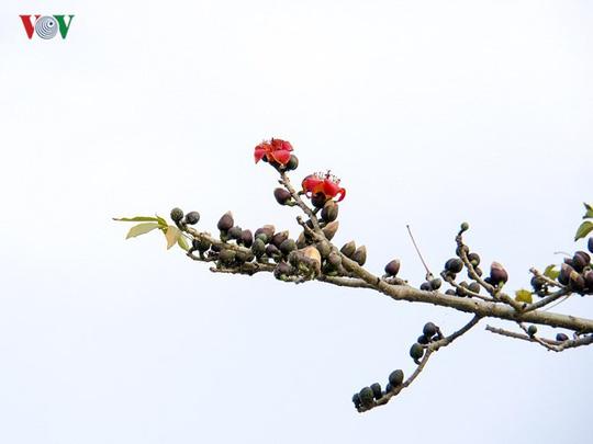 Đẹp nao lòng mùa hoa gạo tháng Ba - Ảnh 8.