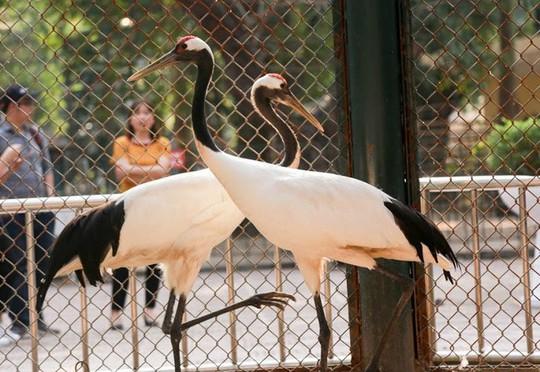 Ngắm loài chim cực quý, nằm trong sách đỏ thế giới - Ảnh 4.