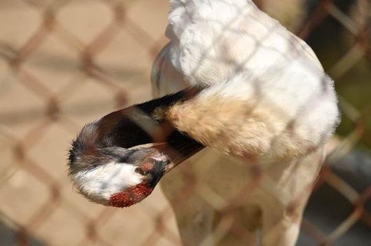 Ngắm loài chim cực quý, nằm trong sách đỏ thế giới - Ảnh 5.