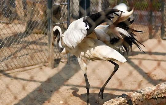 Ngắm loài chim cực quý, nằm trong sách đỏ thế giới - Ảnh 6.