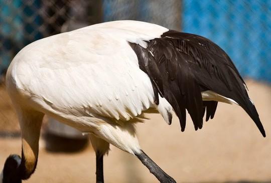 Ngắm loài chim cực quý, nằm trong sách đỏ thế giới - Ảnh 7.