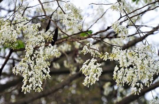 Mùa hoa sưa nở trắng trời Hà Nội - Ảnh 5.