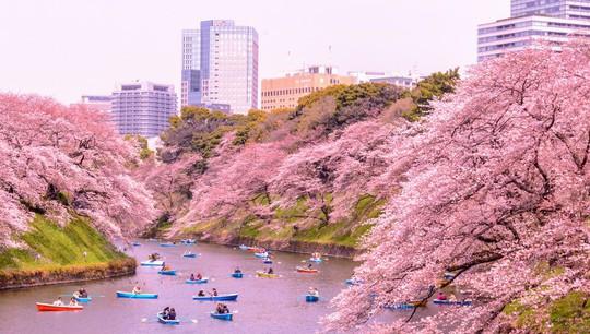 Những nguyên tắc cần biết khi đến Nhật Bản ngắm anh đào - Ảnh 1.