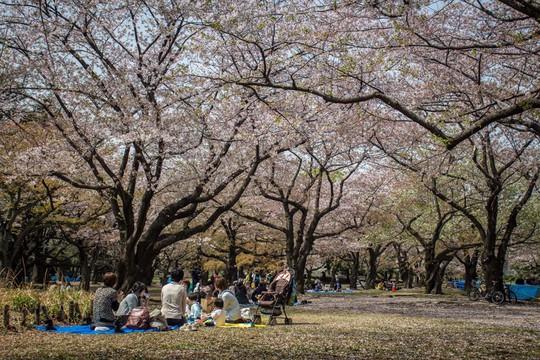 Những nguyên tắc cần biết khi đến Nhật Bản ngắm anh đào - Ảnh 2.