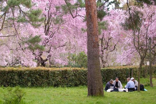 Những nguyên tắc cần biết khi đến Nhật Bản ngắm anh đào - Ảnh 3.