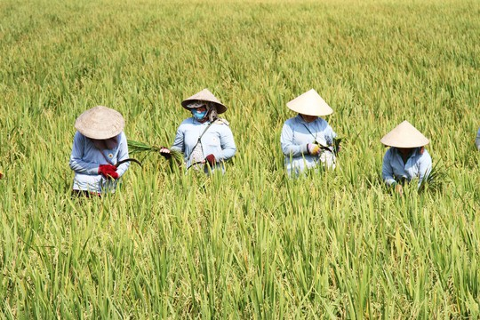 Thương mại hóa 2 giống lúa mới chịu được mặn và kháng bệnh - Ảnh 1.