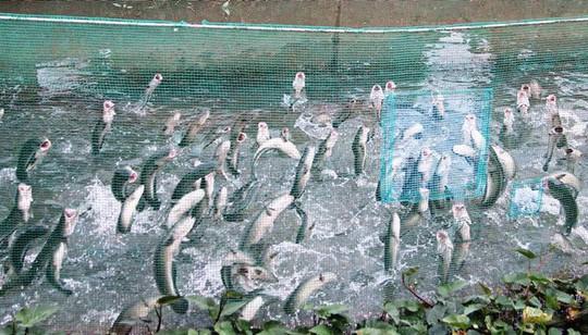 Kỳ diệu đàn cá lóc biết bay, chủ nhân thu tiền tỷ từ khách du lịch - Ảnh 2.