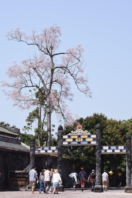 Ngắm hoa ngô đồng khoe sắc trong Đại nội Huế - Ảnh 7.