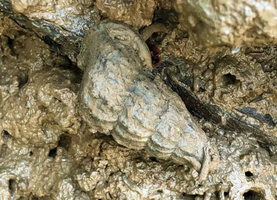 Săn đặc sản ốc len hơi ghê nhưng ăn khỏi chê - Ảnh 3.