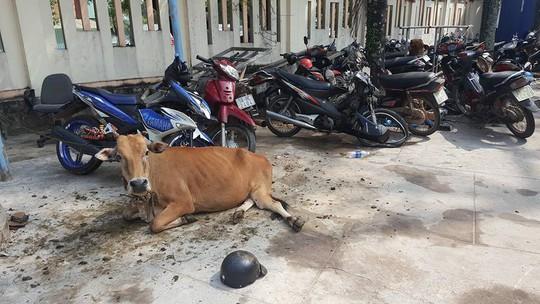 Công an huyện Phú Quốc tạm giam... 2 con bò - Ảnh 1.