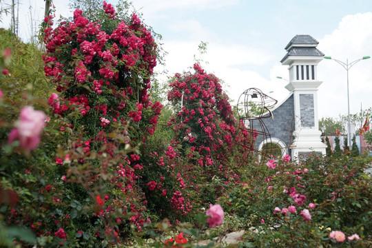 Ngàn gốc hồng cổ nở tưng bừng dưới chân núi, đến Fansipan chẳng muốn về - Ảnh 1.