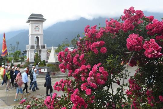Ngàn gốc hồng cổ nở tưng bừng dưới chân núi, đến Fansipan chẳng muốn về - Ảnh 2.