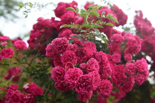 Ngàn gốc hồng cổ nở tưng bừng dưới chân núi, đến Fansipan chẳng muốn về - Ảnh 5.