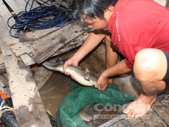 Quái kiệt săn cá ngát trên sông Hàm Luông - Ảnh 5.
