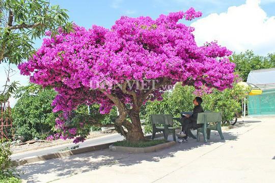 Sốt rần rần với cây hoa giấy khổng lồ siêu đẹp ở Đà Lạt - Ảnh 1.
