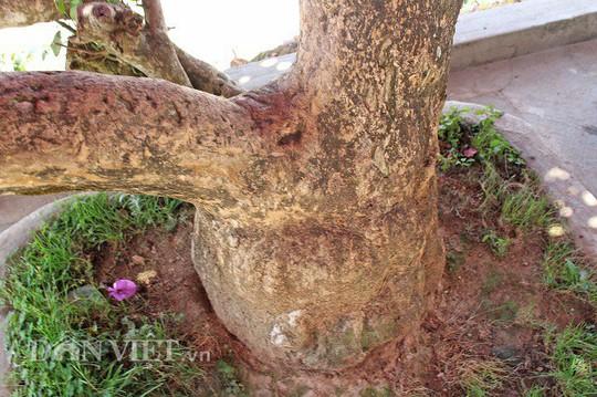 Sốt rần rần với cây hoa giấy khổng lồ siêu đẹp ở Đà Lạt - Ảnh 2.