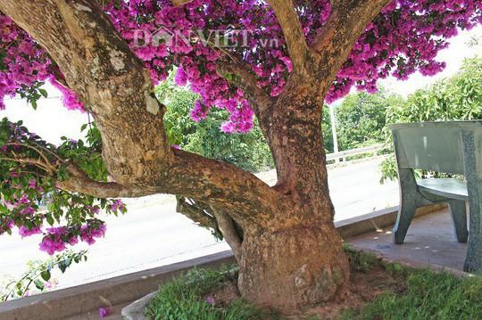 Sốt rần rần với cây hoa giấy khổng lồ siêu đẹp ở Đà Lạt - Ảnh 3.