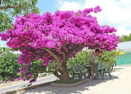 Sốt rần rần với cây hoa giấy khổng lồ siêu đẹp ở Đà Lạt - Ảnh 4.