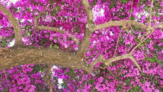 Sốt rần rần với cây hoa giấy khổng lồ siêu đẹp ở Đà Lạt - Ảnh 6.
