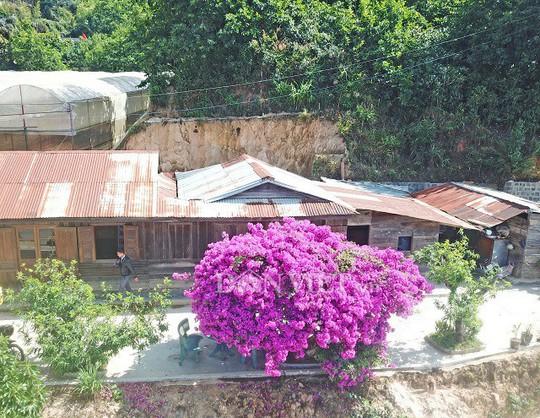 Sốt rần rần với cây hoa giấy khổng lồ siêu đẹp ở Đà Lạt - Ảnh 8.