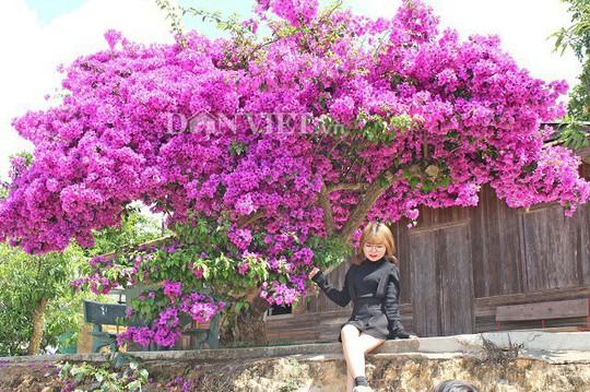 Sốt rần rần với cây hoa giấy khổng lồ siêu đẹp ở Đà Lạt - Ảnh 9.