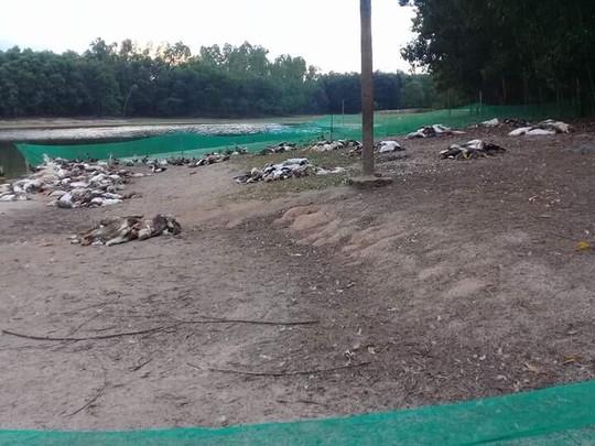Rơi nước mắt nhìn đàn vịt gần 1.500 con đến ngày xuất chuồng bị đầu độc - Ảnh 1.