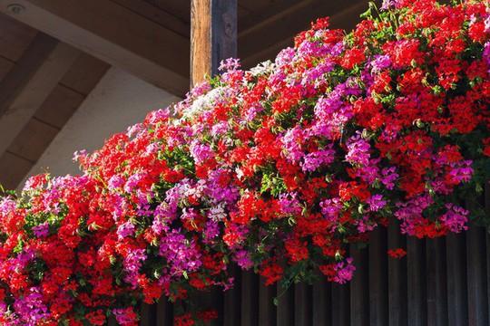 Ngất lịm với những ban công rực rỡ sắc hoa mùa hè - Ảnh 6.