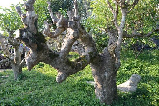 Căng thẳng tập đoàn mối tân công rừng chè cổ thụ Suối Giàng - Ảnh 5.