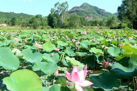 Ngắm cánh đồng sen tuyệt đẹp ở Quảng Nam - ảnh 1